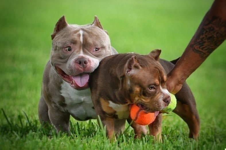 TOP AMERICAN BULLY KENNELS & BLOODLINES- VENOMLINE-Venomline | Top Pocket American Bully Breeder
