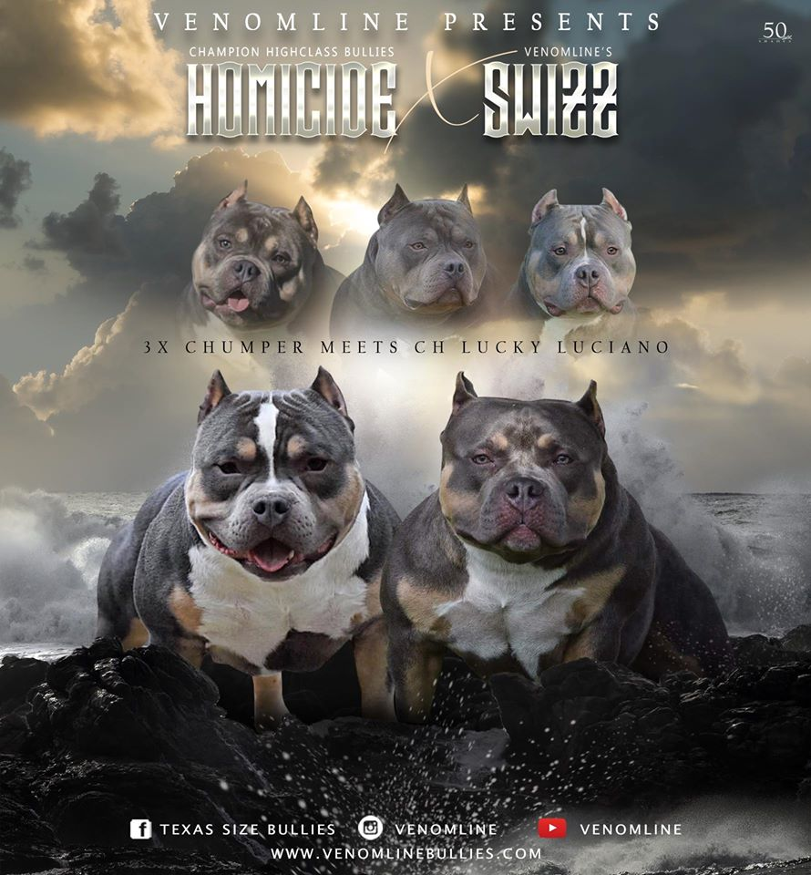 Pocket Bully Breeders, Pocket Bully Kennels, Top American Bully Breeders, Best Bully Bloodline, Upcoming Breedings, American Bully Stud Service, Pocket Bully Stud Service, Top American Bully Breeders