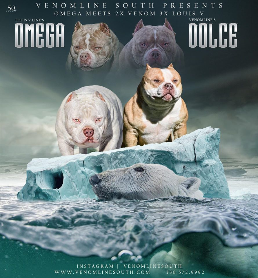 Pocket Bully Breeders, Female American Bully, Best Bully Breed, ABKC Champion, Top American Bully, Best American Bully Breeders
