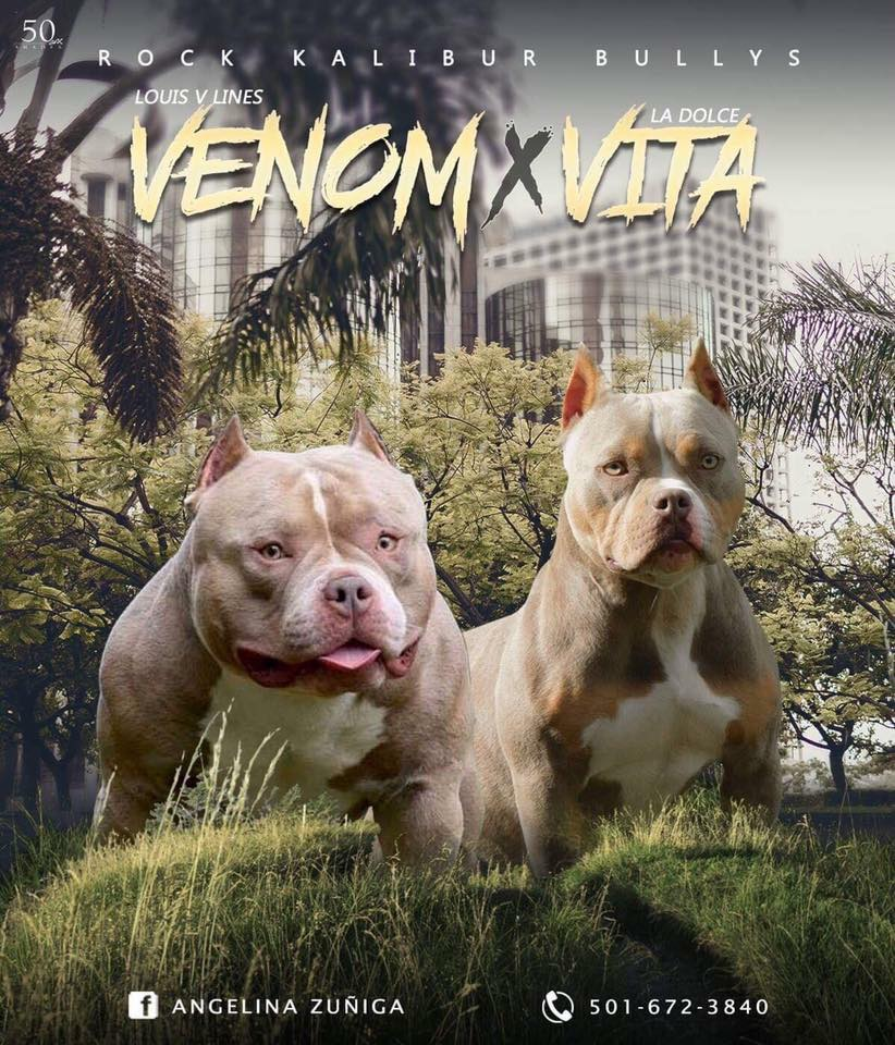 POCKET BULLY PUPPIES AVAILABLE FOR SALE | VENOM MEETS LOCO