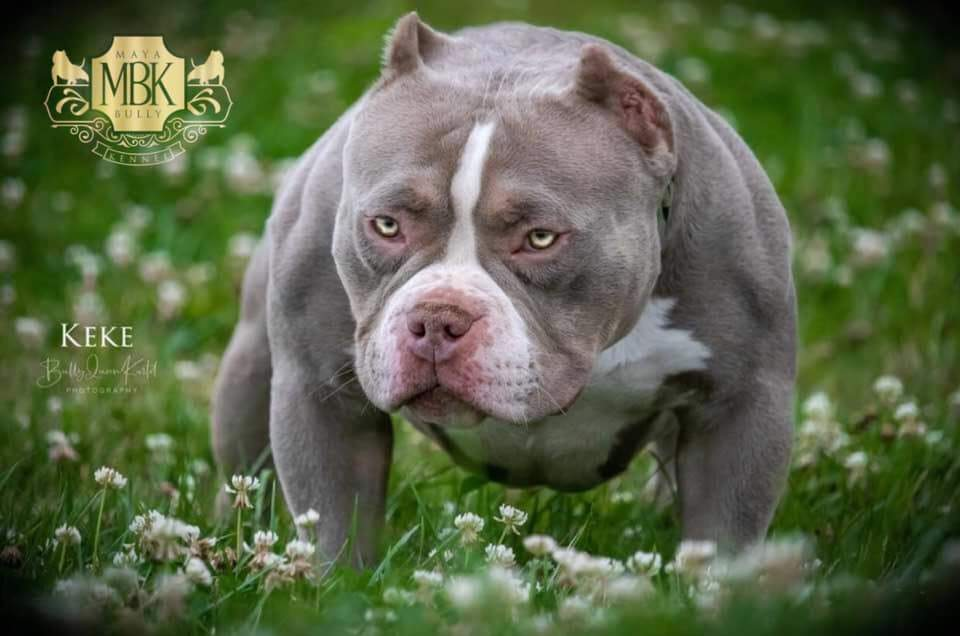 Best Pocket Bully bloodlines, Top American Bully Breeders, ABKC Pocket Bully, micro bully