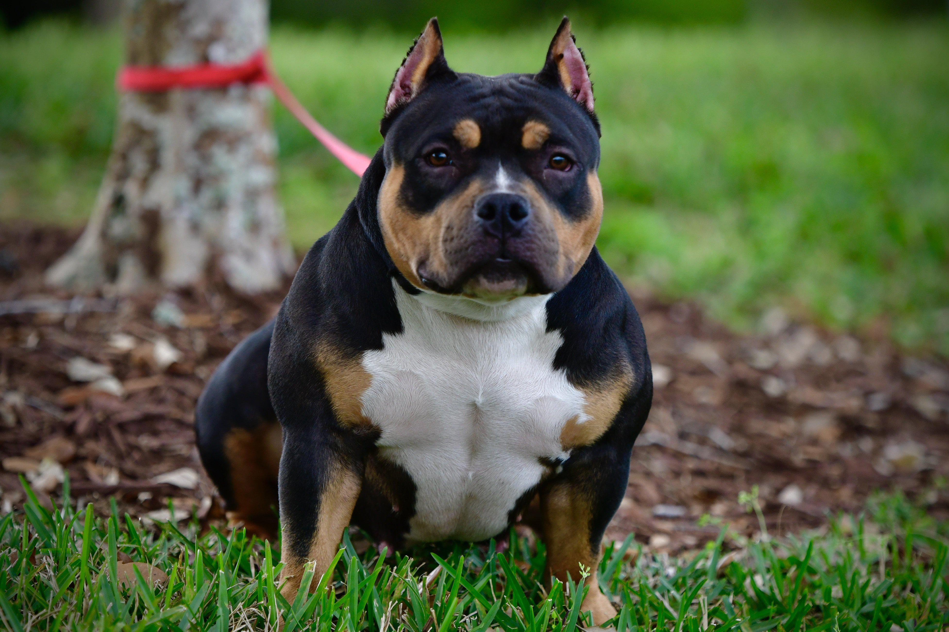 Pocket bully, female, tri color, puppy, puppies, for sale, american bully kennels