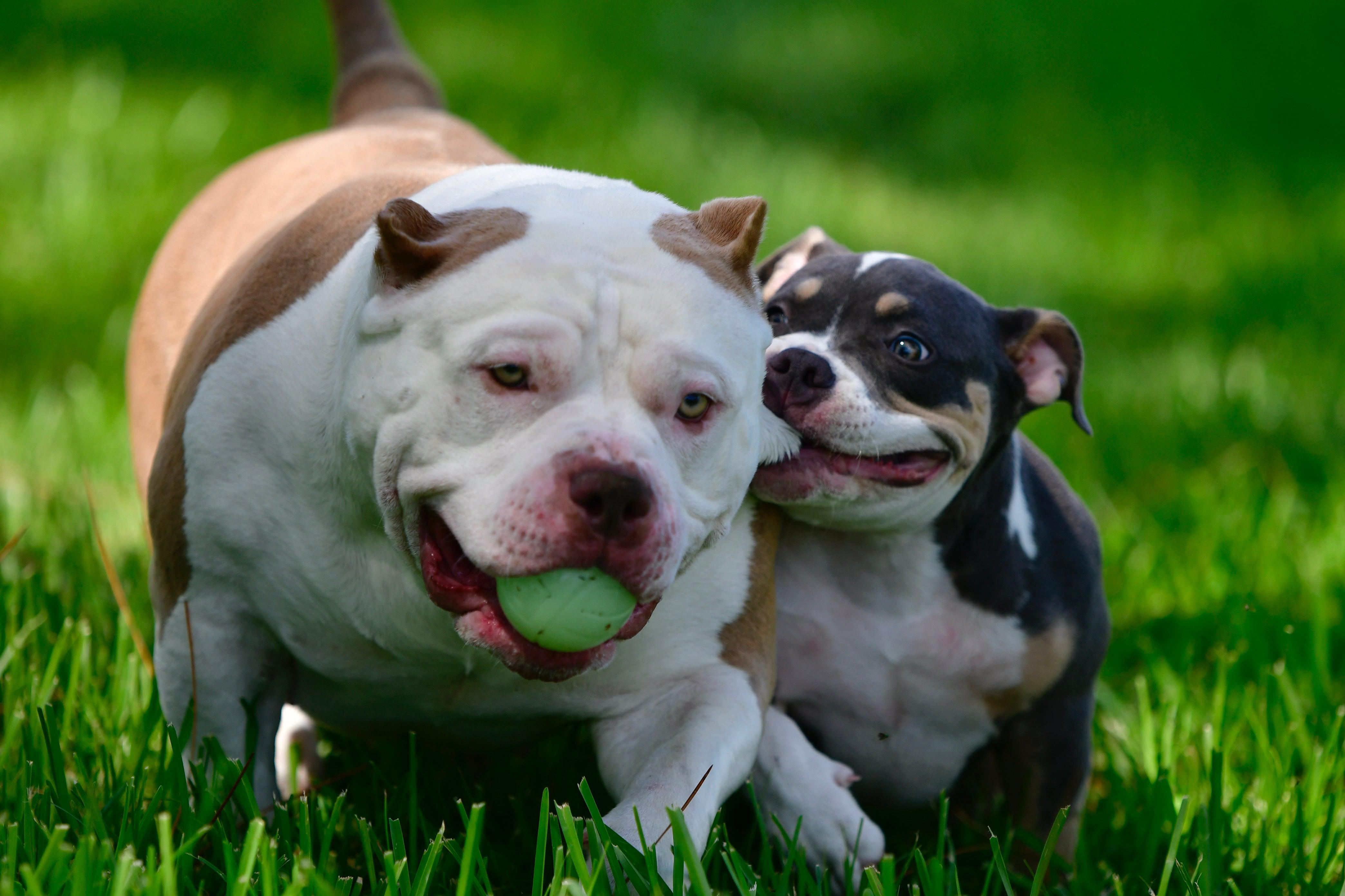 Pocket American Bully, pocket bully, puppies for sale, puppies, breedings, american bully, breeders, kennels