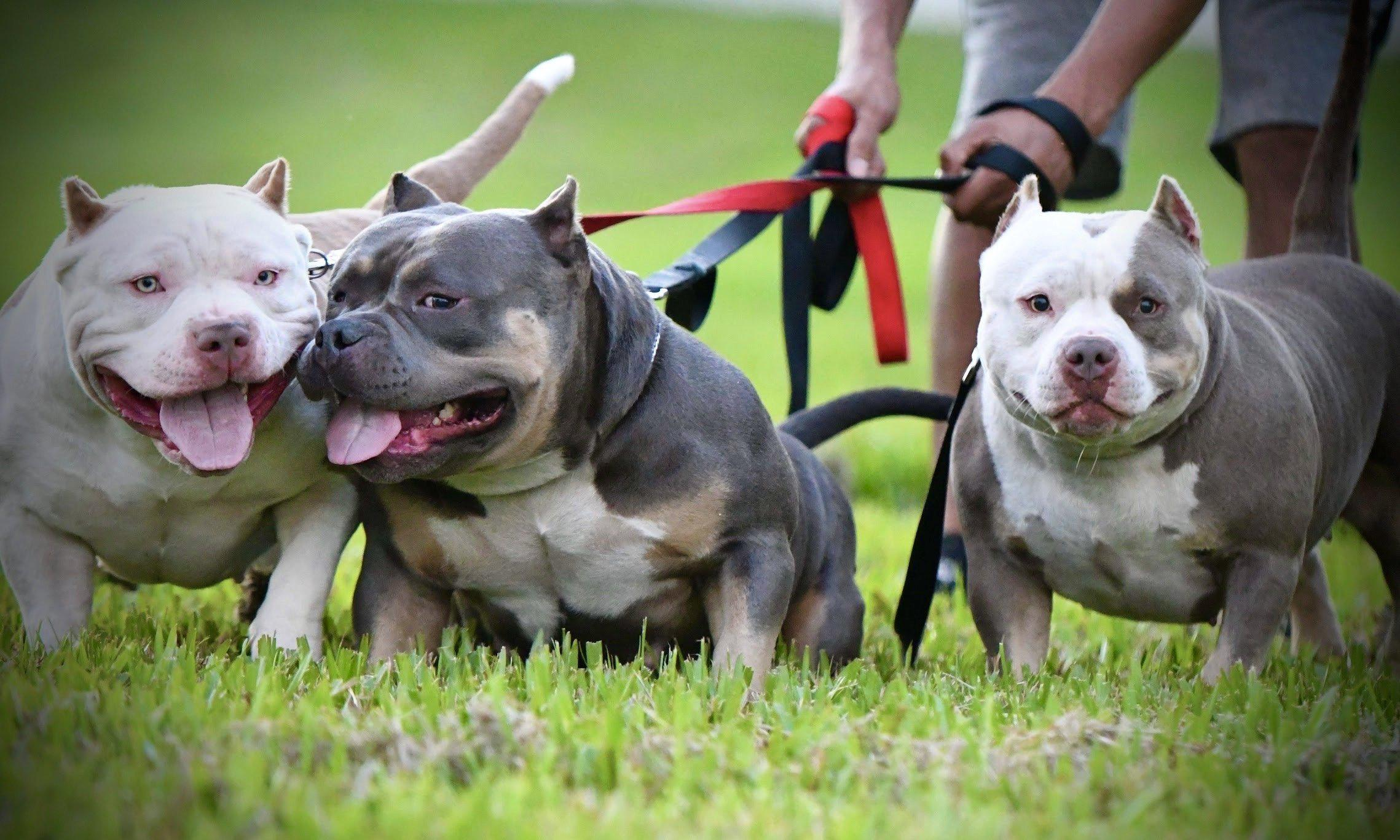 American Bully Breeders, American Bully Kennels, Pocket Bully Kennels, Pocket Bully Breeders, Pocket Bully Kennels, Best Pocket Bully Breeders, Best Pocket Bully Kennels, Top Pocket Bully Studs, Venomline, ABKC Champions, Pocket American Bully, Pocket Bully, Micro Bully, Extreme Bully, Exotic Bully, Puppies for Sale