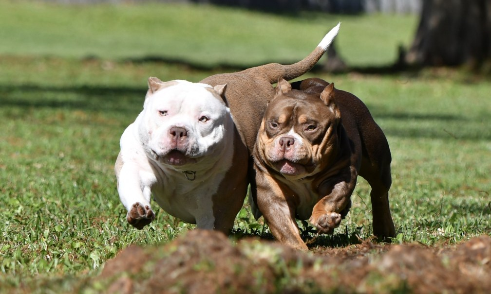 Top American Bully Breeders, American Bully Kennels, Best Pocket Bully Kennels, Pocket Bully Breeders, Pocket Bully Kennels, Best Pocket Bully Breeders