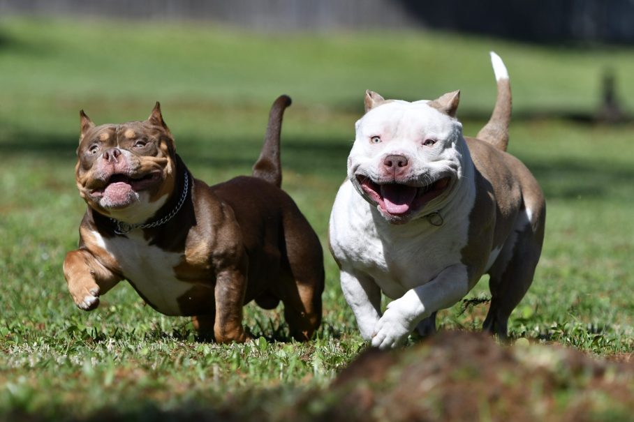 Top American Bully Breeders, American Bully Kennels, Best Pocket Bully Kennels, Pocket Bully Breeders, Best Pocket Bully Breeders