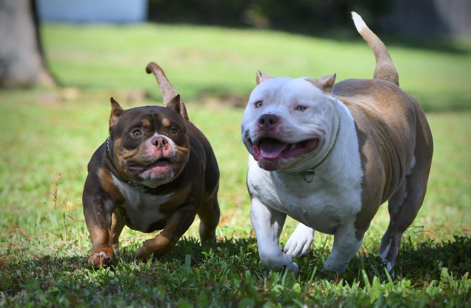 Top American Bully Kennels, Best Pocket American Bully Breeders, ABKC Champions, American Bully Pocket