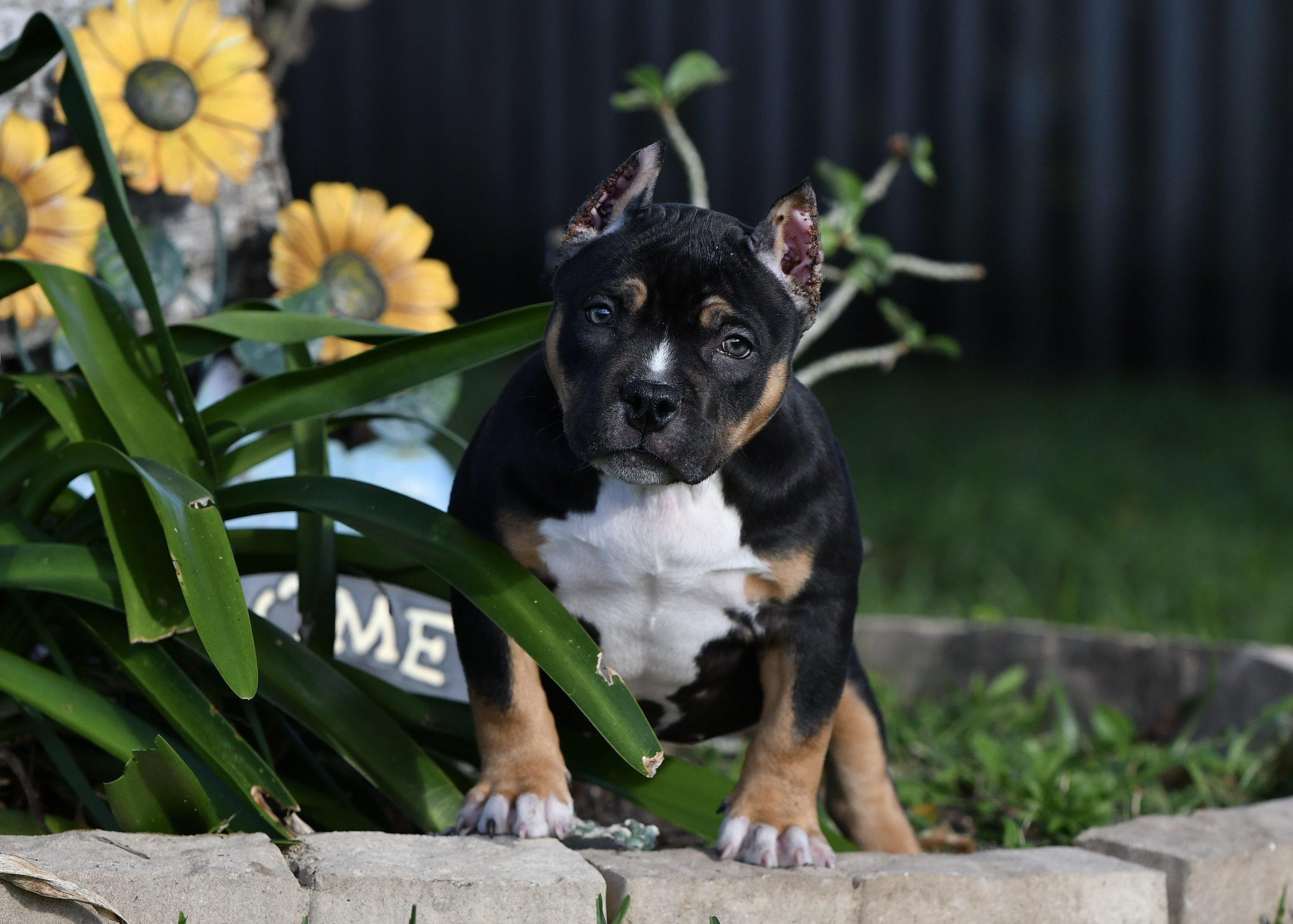 Tri Color, Pocket American Bullies, Top American Bully Breeders, Best American Bully Kennels, Stud Service, Studs, ABKC, Champions, American Bully Puppies For Sale, Venomline, Daxline, Louis V Line Bullys, Muscletone Bullys, Micro bully, Exotic Bully, puppies