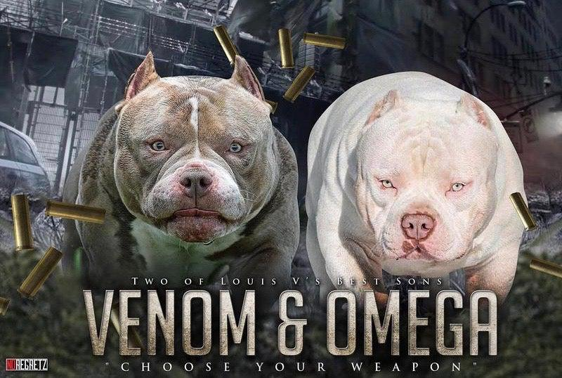 American Bully Stud Service | Best Pocket Bully Puppies For Sale | Top American Bully Kennels | Best American Breeders | Venomline