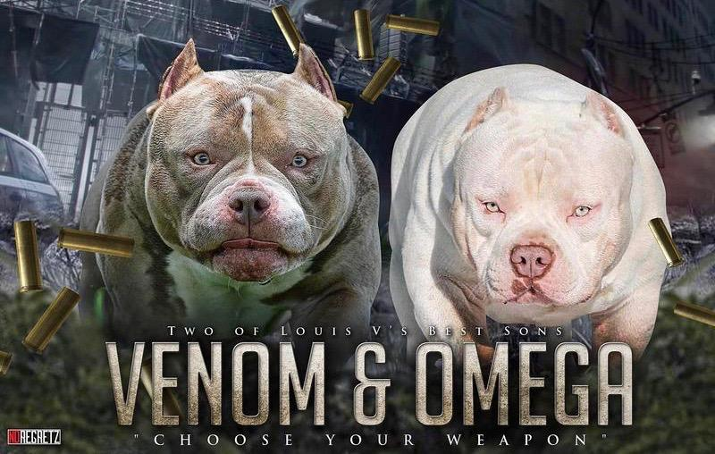 American bully for sale - venomonline