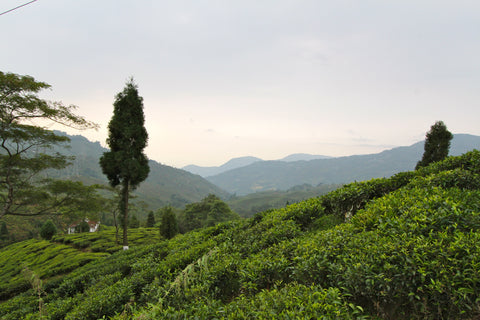 Tea growing in the hills of Assam