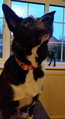 "Poppy wearing ""Vintage Britain"" dog collar"