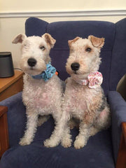 Nell and Poppy in mabel and mu dog collars