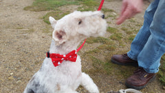 Bertie in crazy for you collar and lead