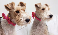 Dolly and Anya in cerise blitz dog collars