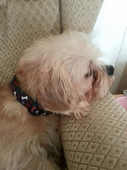 monty wearing mabel and mu collar