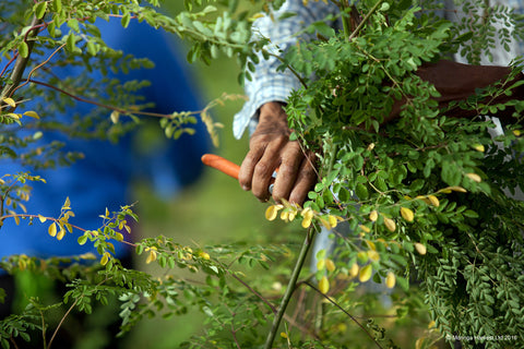 Harvesting Moringa by Hand