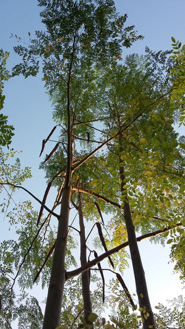 Tall Moringa Tree at full height