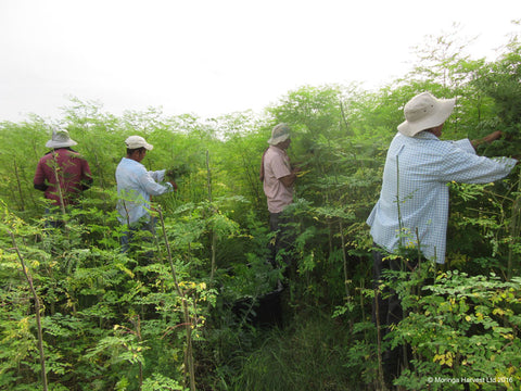 Moringa being cut and harvested by hand
