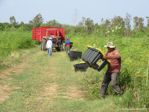 Moringa being loaded onto a tractor