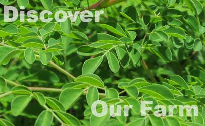 Discover our Moringa farm