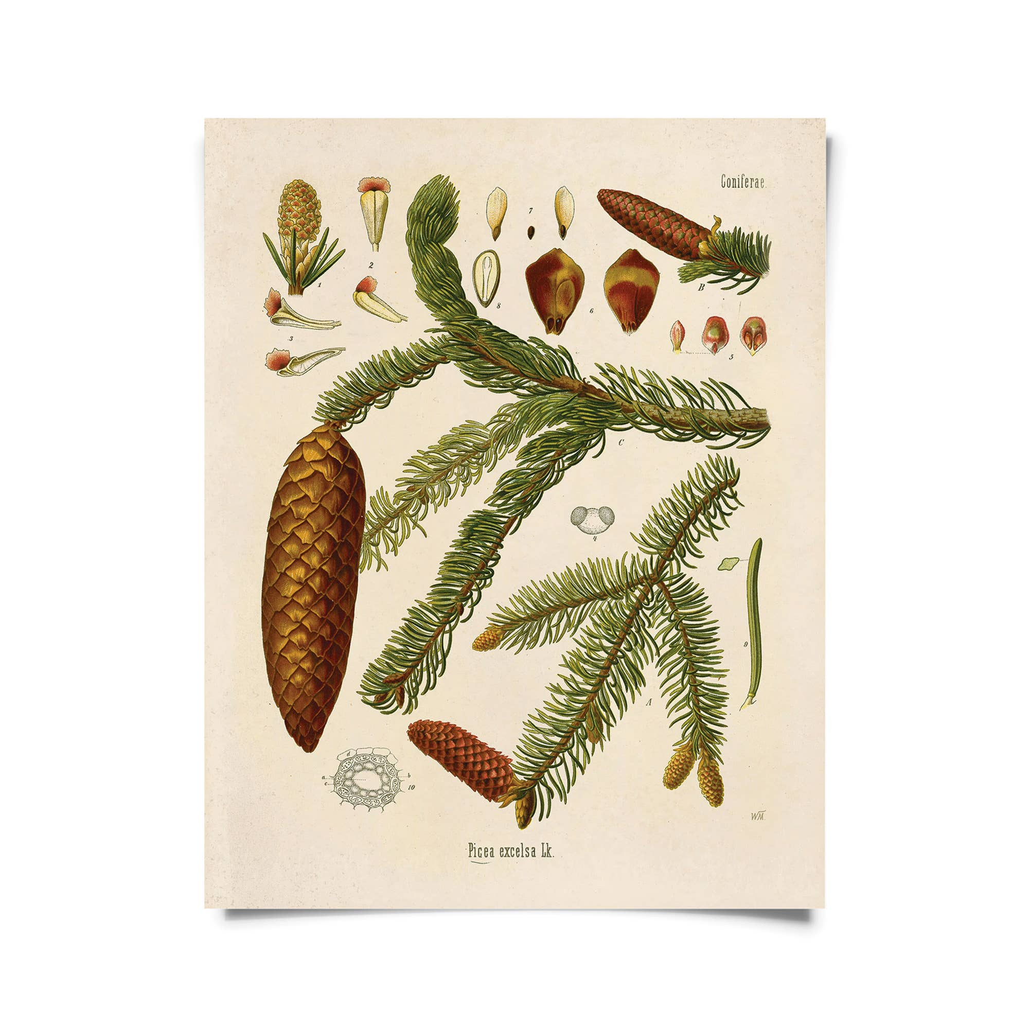 Vintage Botanical Norway Spruce Tree Print
