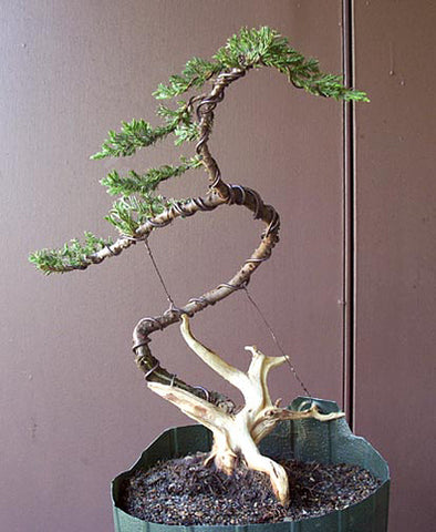 how to grow and care for a bonsai tree planted perfect rh plantedperfect com Bonsai Styles Bonsai Wiring Techniques