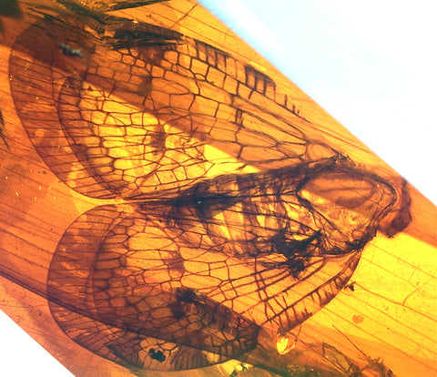 fossil insect in Mexican amber