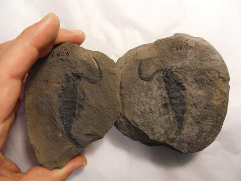 fossil scorpion sparth bottoms rochdale