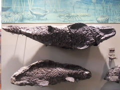 fossil fish from whitby