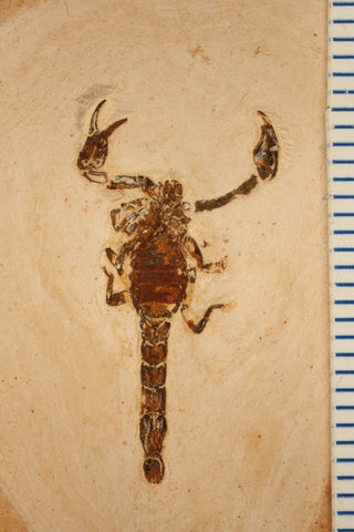 Fossil scorpion Crato Formation Brazil