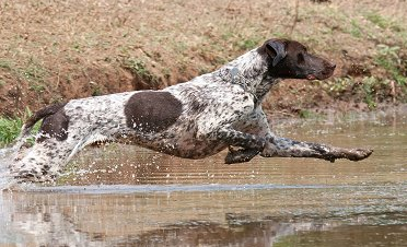 Best Hunting Dogs for Upland Game Birds - NOMAD Outdoor