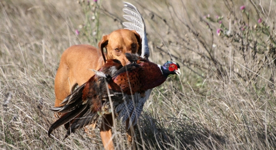 c1475016ef768 Although they are not well suited for extremely low temperatures, the  vizsla is one of the ultimate upland bird hunters. But be prepared if you  bring home a ...