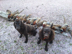 093fc8873456b Looking for a dog that could hunt on both land and water, 19th-century dog  breeders in Wisconsin created the American water spaniel, a curly,  dark-haired ...