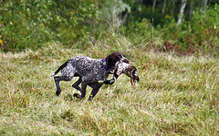 dba2943d855ea Most hunters would consider the German shorthair pointer a dog for hunting  upland birds like pheasant, quail, and grouse, but they are also one of the  best ...