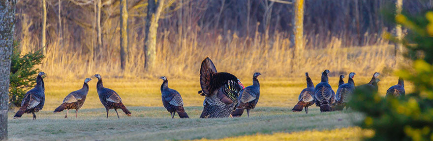 Panoramic view of a strutting tom turkey with his hens in the springtime.