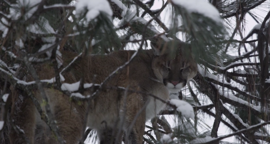 idaho mountain lion