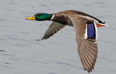 db6edcaa8f45f Identifying male mallard ducks is easy, and this should be Duck 101 for  every hunter. Look for the white ring around the neck, a clear mark that ...