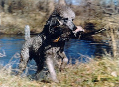 4dacc1d7cbe41 Skip the fancy haircuts, designer collars, and shiny ribbons and take your  poodle to duck hunting school. Poodles were retrieving waterfowl long  before the ...