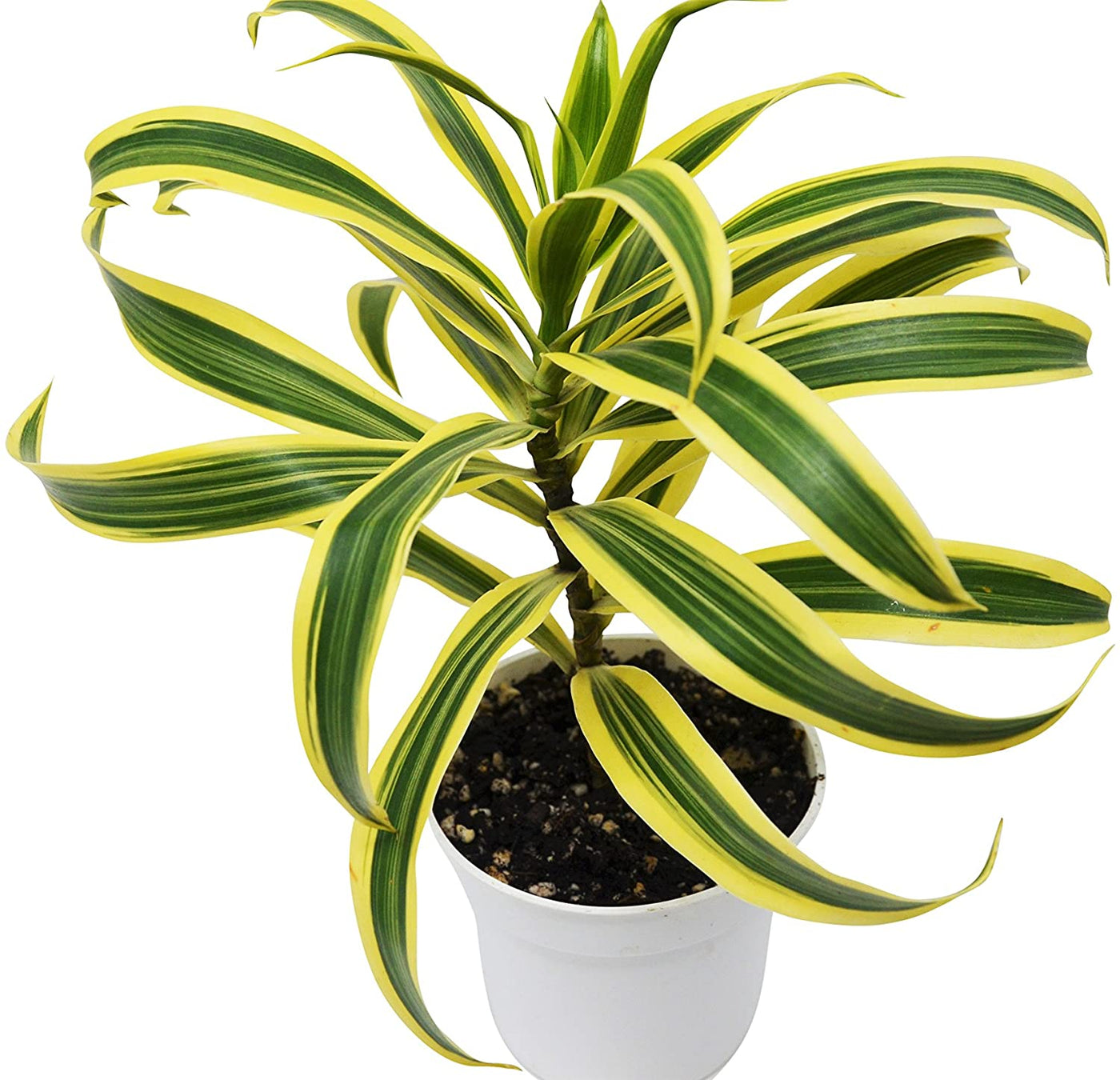 Song of India Plant - 4""