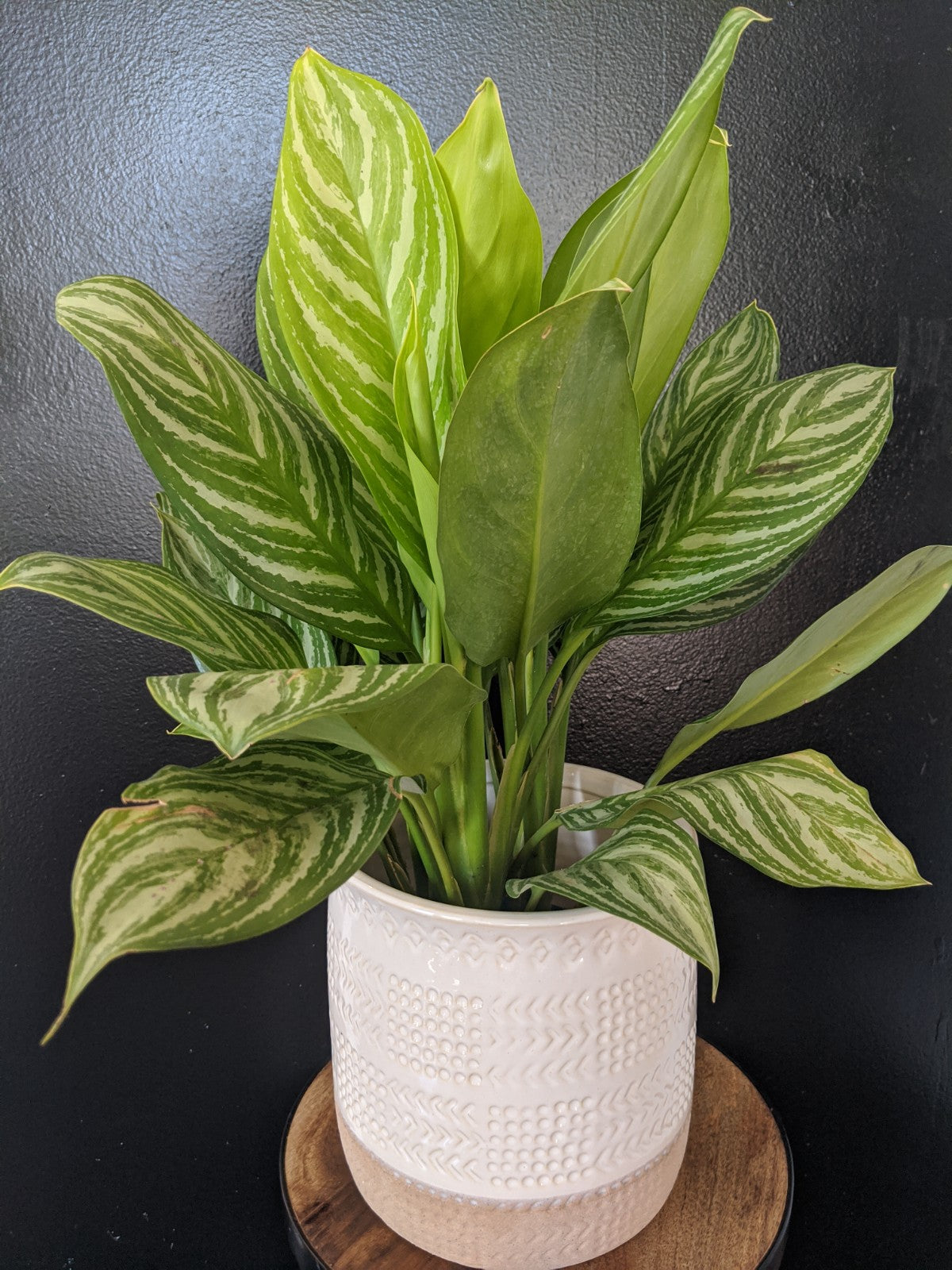 Aglaonema Silver Bay - 6in