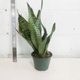 Snake Plant (Sanseveria) - 6in Pot Size