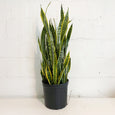 Snake Plant (Sanseveria) - 10in Pot Size