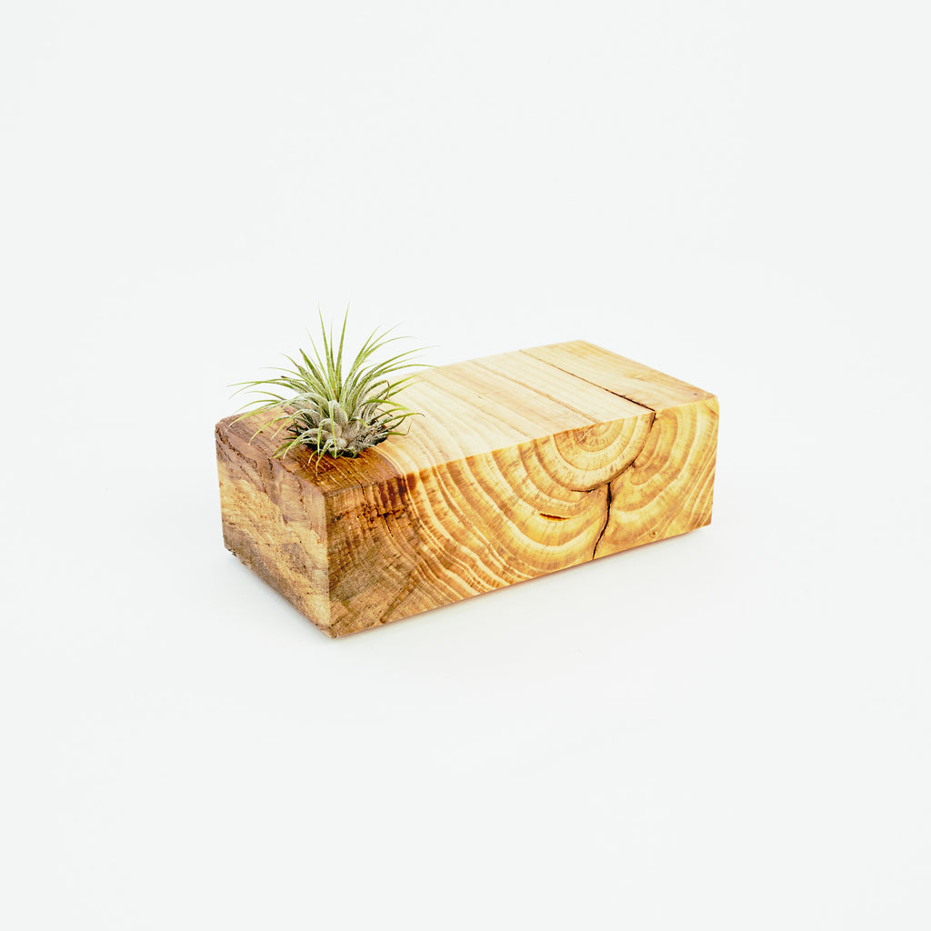 Small Pine Planter and Air Plant