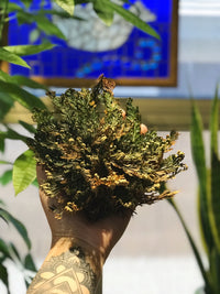 << ROSE OF JERICHO >> RESURRECTION PLANT