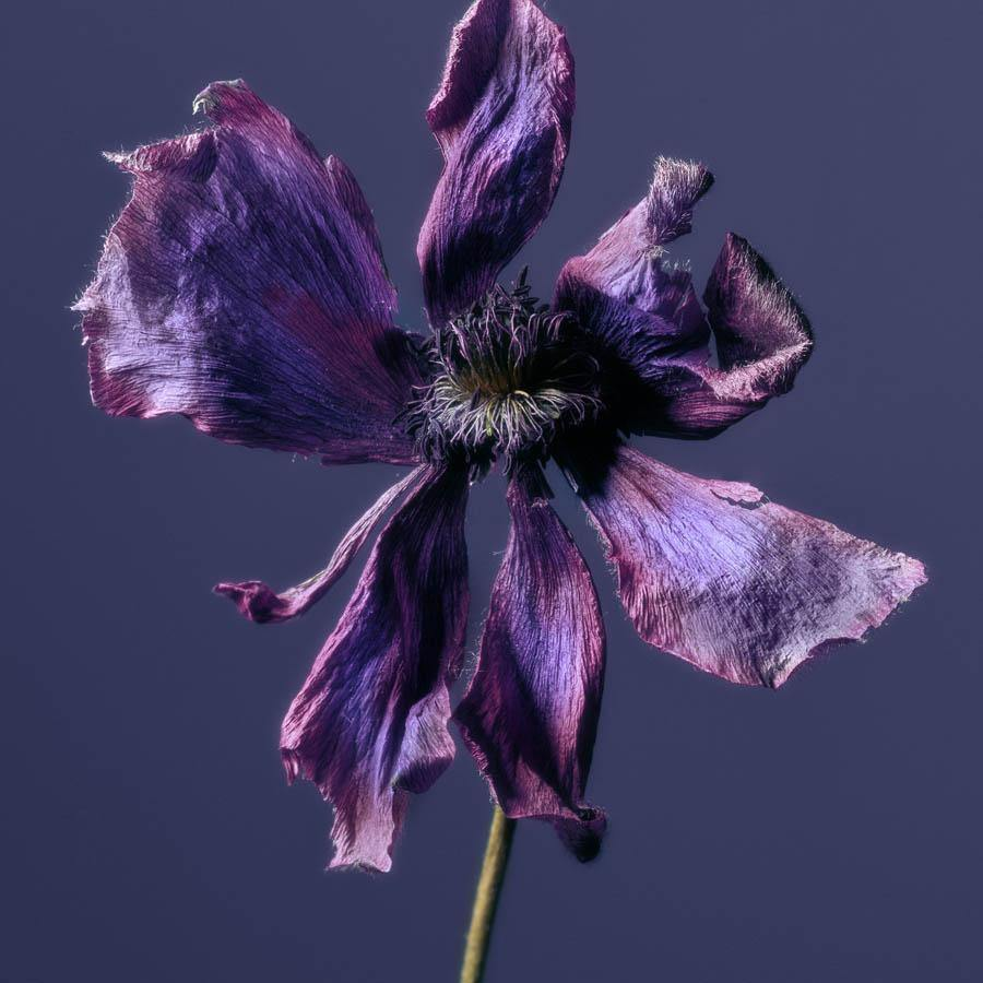 Anemone, Photography  by  Anemone Tappan
