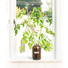 Organic Cherry Tomato Windowsill Planter (Complete Mason Jar Grow Kit) 🍅