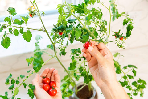 Organic Cherry Tomato Self-Watering Planter - Back to the Roots
