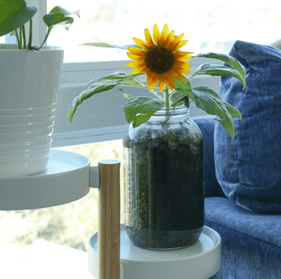 Organic Sunflower Windowsill Grow Kit 🌻