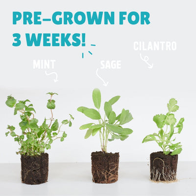6 Pack of Pre-Grown Sage, Mint, & Cilantro Live Seedlings